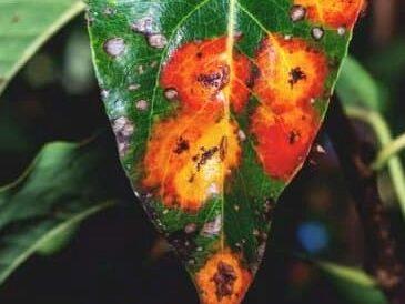 Leaf Scab Rust Fungus